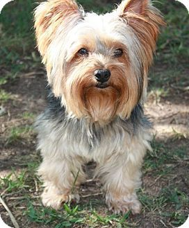 Pictures of Rex a Yorkie, Yorkshire Terrier for adoption in Statewide and National, TX who needs a loving home.