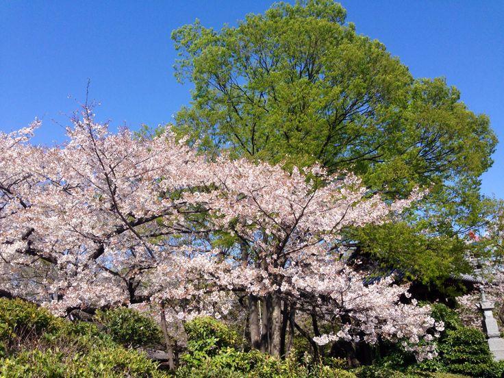 桜色、若草色、春色。 芝、増上寺。