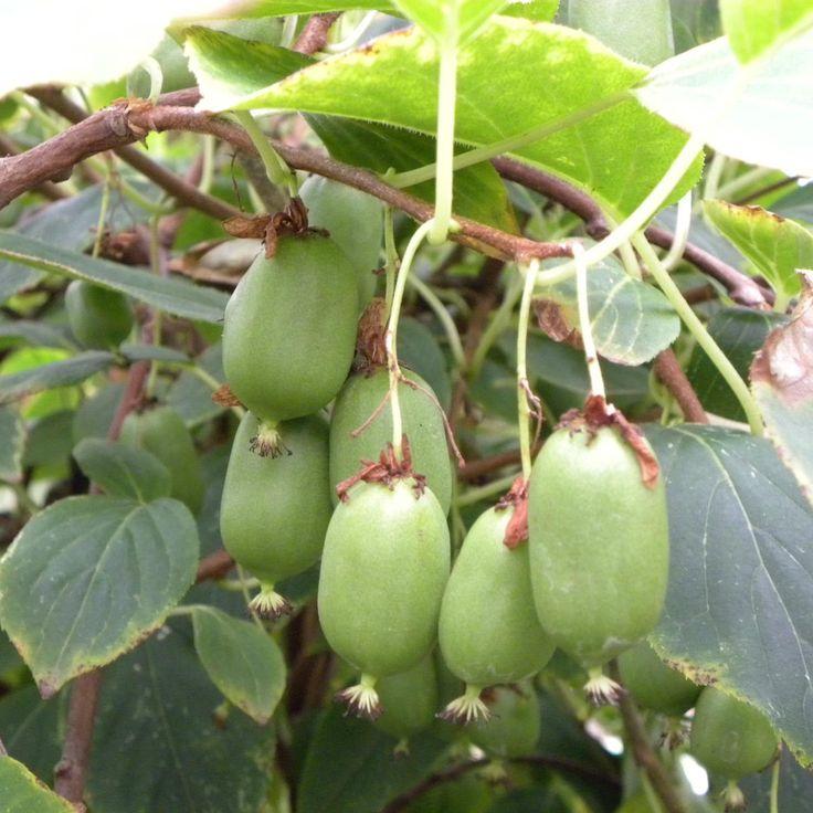 Kiwi arguta Issai Autofertile - Actinidia arguta - Kiwi d'été autofertile - Kiwai - un seul plant pour une récolte dès deux ans