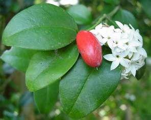 C. bispinosa. Photo G Nichols