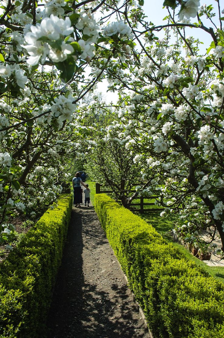 Apple Blossom at Snowshill Manor in the Costwolds