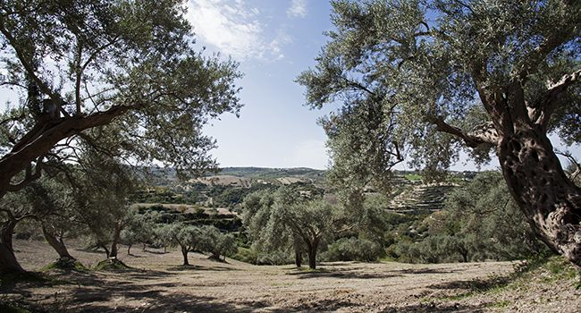 Centuries-old olive groves on calcareous rocks at the Chiappa homestead in Palazzolo Acreide, in Sicily.