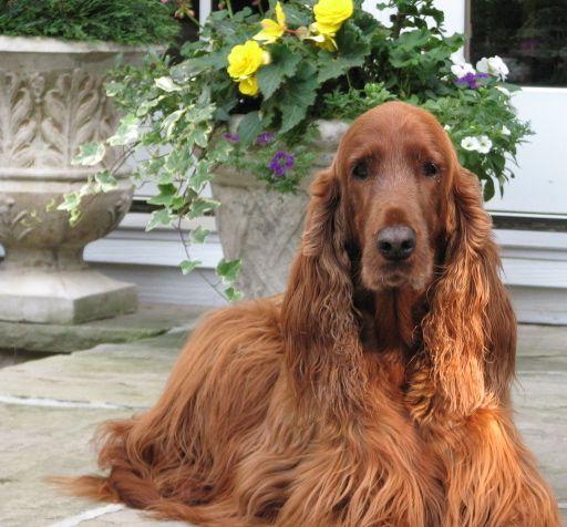 Irish setter...Called the most beautiful breed! My next dog!