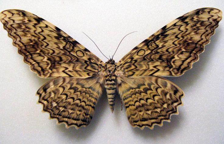 Hábitos de las mariposas nocturnas