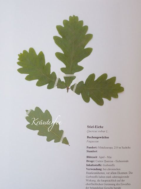 Kräuterfee: Herbarium Vorlage Stiel-Eiche Quercus robur L.