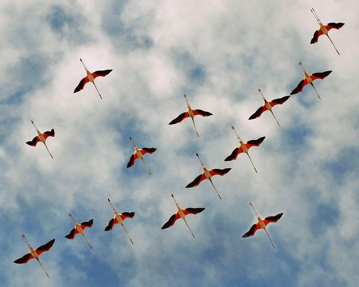Fenicotteri nel cielo di Cagliari - #Sardinia #flamingos