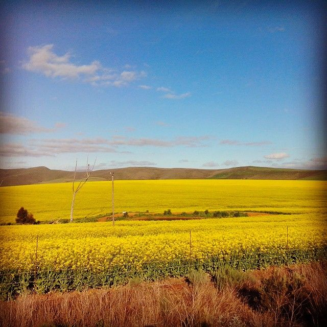 The 25 best small towns in South Africa | SAvisas.com - Villiersdorp | Wander through the Canola fields.