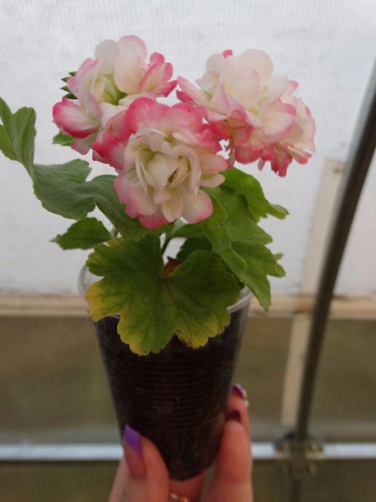 April Snov осеннее цветение
