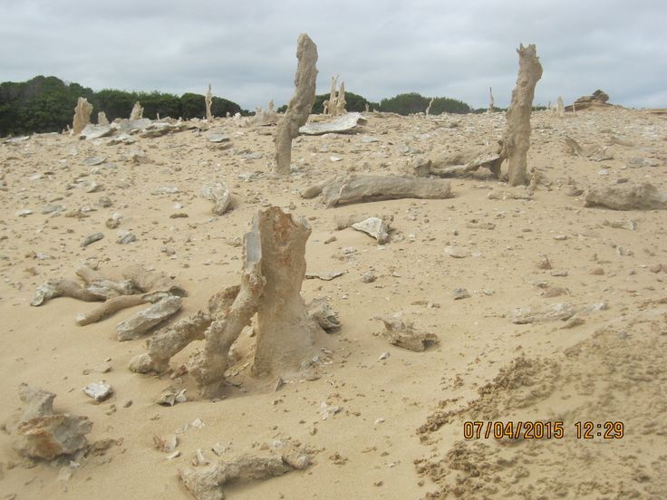 Calcified forest. King Island.