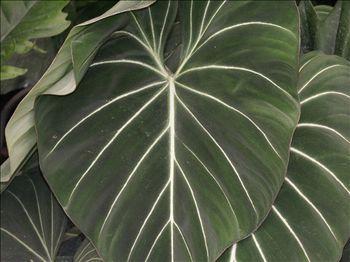 philodendron gloriosum - Cerca con Google