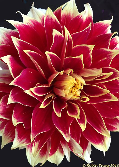 ~~Dahlia 'Ketchup and Mustard' by Robin Evans~~