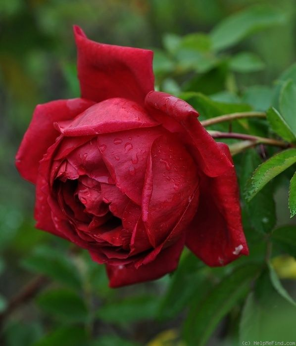 foto de 1000+ images about A RED RED ROSE on Pinterest Single
