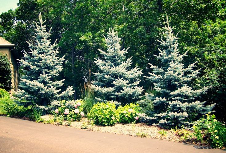 Landscaping Screening Trees : Best images about landscaping ideas trees on