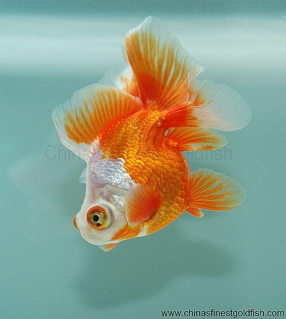 Telescope eyed butterfly goldfish