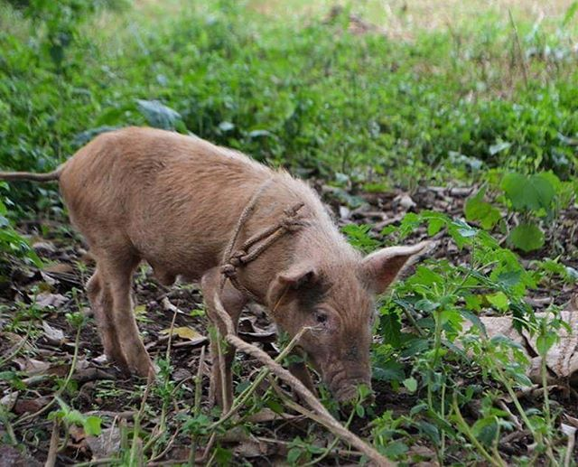 We love seeing our women's pigs so happy and healthy. 🐖 #womensempowerment #poverty #business #projectoutward #ethical #pigs #villageofbobbi