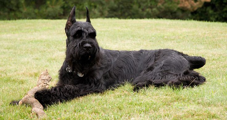 Top 10 Guard Dog Breeds – The Best Watchdogs for Protection