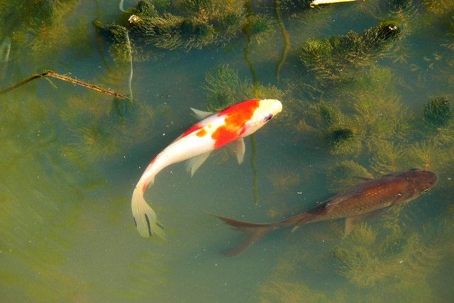 Koi and other pond fishes compatibility with goldfish for Goldfisch und koi