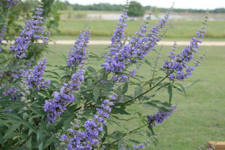 Vitex-TheTexas Lilac (Vitex agnus-castus) - Vitex are typically grown as a multi trunked tree.  The multi-trunk look is achieved through pruning.  When grown as a tree they  grow to about 15 feet.  However, some varieties can get as tall as 35 feet.   If left alone from seed, the Vitex will grow into a lovely shrub that makes a stunning hedge that can, with regular deadheading, produce those long, lovely flower spikes throughout the summer.