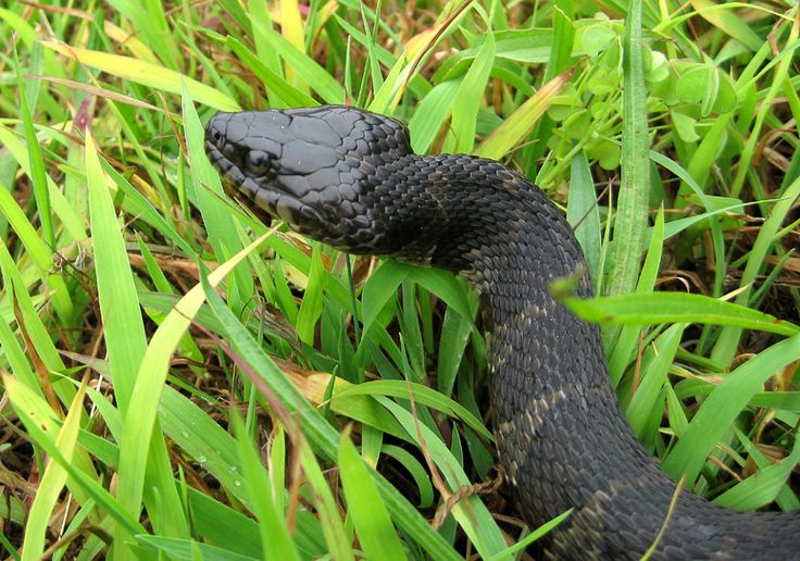Is this Snake Venomous? What to Look for when Dealing with Snakes. | Snakebuddies' Blog
