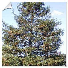 Séquoia toujours vert / Sequoia sempervirens