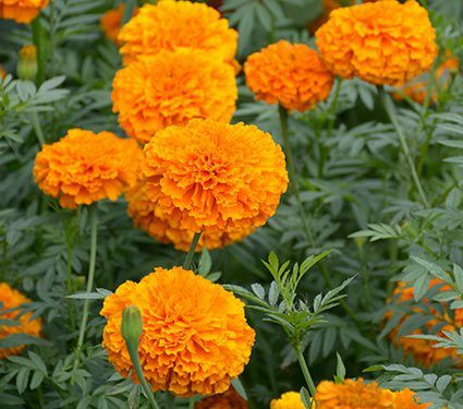 These carefree Marigolds operate like flower factories, producing brilliant orange 3″ blooms tightly packed with ruffled petals. A lively presence in the mixed border and terrific for vases.For information on growing Tagetes, click Growing Guide.