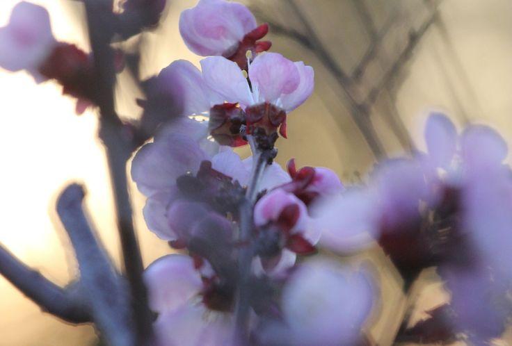 Szemünkbe ötlenek a rég várt gyönyörű színek természet adja nékünk,hogy kis életünkbe ismét beköltözzön a vidámság, s a színek harmóniája s ne tagadjuk, mily jól esik ez, a hosszú szürkeség után, mit megszoktunk a téli hónapok alatt.  Most viszont,miénk minden virág, illat, forma  mit e áldott természet kárpótlásul elénk tár. Teljen be velük lelkünk s szemünk, s élvezzük e gyönyört mit szinte ingyen kapunk, itt a kikelet, s az éltető napocska időszaka emberek!