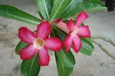 Cómo cuidar la rosa del desierto - http://www.jardineriaon.com/cuidar-la-rosa-del-desierto.html #plantas