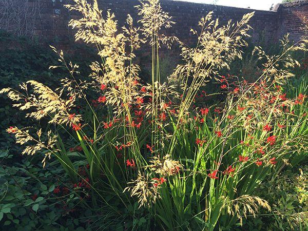 Buy golden oats Stipa gigantea: Delivery by Crocus
