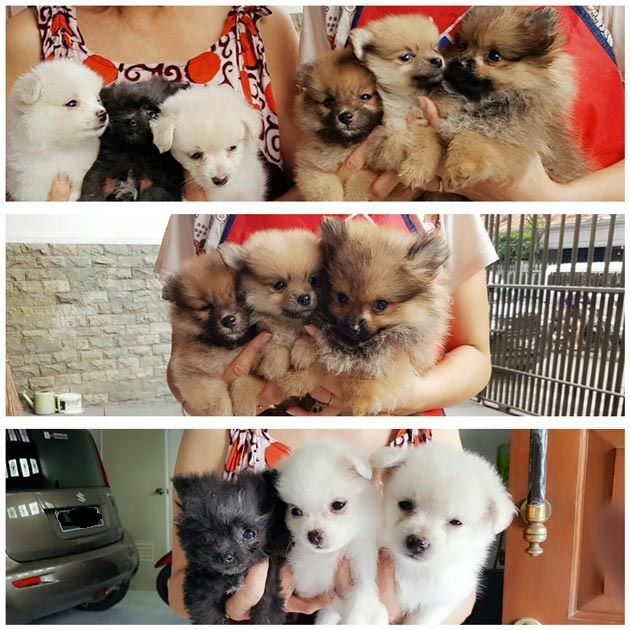 Watak Dan Harga Anjing Minipom Membuat Populer Sebagai Peliharaan