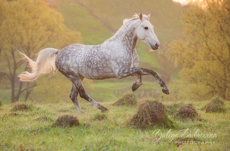 best 25 dapple grey horses ideas on pinterest grey