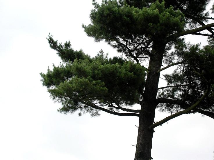 CONIFERS · Pine Tree