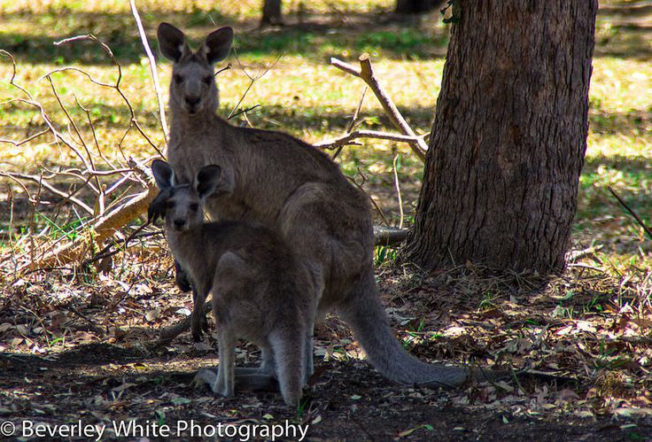 Mum and Baby Kangaroos