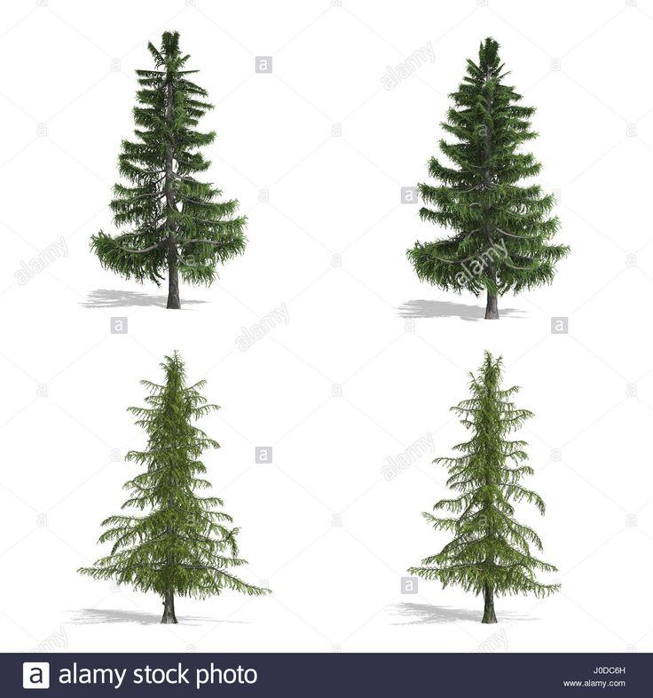 Cedar fák, elszigetelt fehér háttérrel.  Stock fotó
