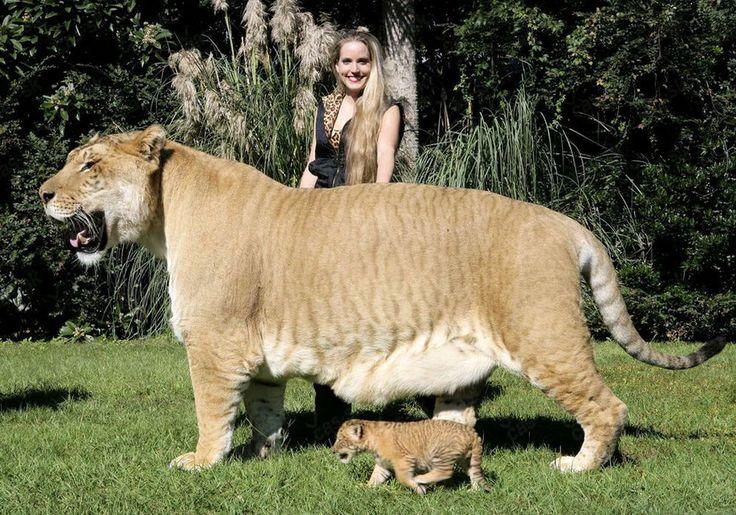 Dacă ai impresia că leii și tigrii sunt niște pisici mari, iar tarantulele niște păianjeni mari, noi am creat o selecție de imagini care îți vor demonstra contrariul. În comparație cu animalele din fotografiile de mai jos un leu obișnuit pare un pisic inofensiv, iar o tarantulă-o insectă minusculă, greu de observat. Se pare că …