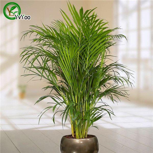 30 Palma de Semillas de bambú, plantas de interior de la nueva llegada Jardín de DIY semillas de Árboles P001