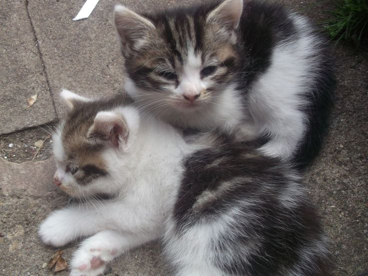 3 lovely white and tabby kittens for sale | Rugby, Warwickshire ...