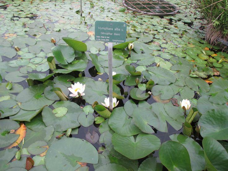 Botanic Garden -  Nymphaea alba, also known as the European white water-lily