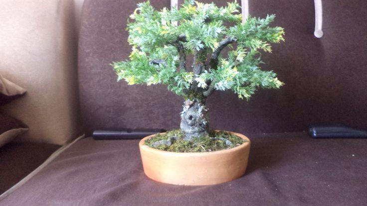 Bonsai imitación pino