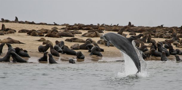 Dolphin jumps for an audience of seals  #animal #dolphin #jumps #audience #seals #photography