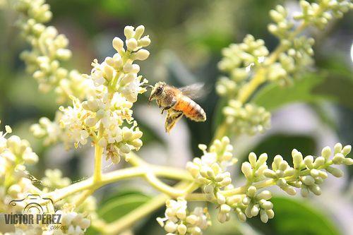 Día mundial del medio ambiente.  En el día internacional del medio ambiente, una abeja trabaja arduamente recolectando polen de distintas flores, con lo que prolifera polinización de frutos y huertos.