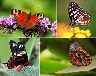 NO. Riktiga och roliga fakta om olika djur i världen. Fakta: Fjärilar dör inte om du rör sina vingar. Fjärilar kan inte flyga om vädret är för kallt. Få mer fakta om fjärilar här.