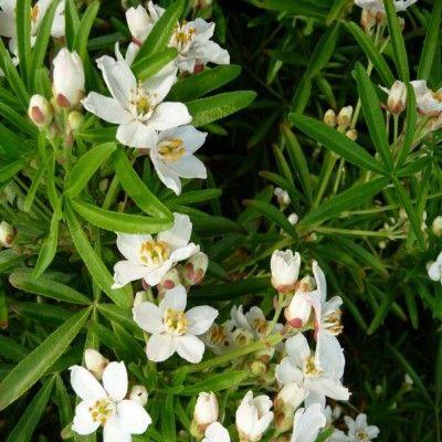 1000 id es sur le th me arbuste de haie sur pinterest arbre d ornement les fleurs et haies. Black Bedroom Furniture Sets. Home Design Ideas