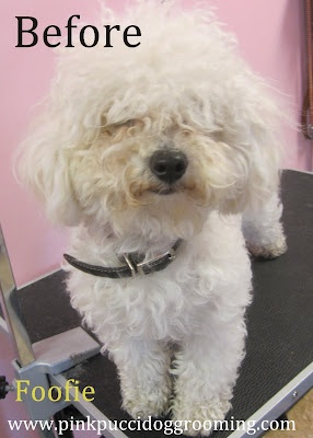The 13 best dog grooming before after pics images on pinterest japanese style dog grooming with color foofie the maltipoo at the pink pucci dog grooming salon and spa in torrance ca solutioingenieria Gallery