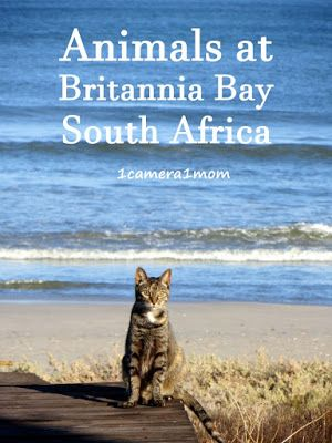 1camera1mom: Animals at Britannia Bay - The beach along Britannia Bay is not crowded like the beaches in Cape Town. Even on a lovely day, there can be long stretches of empty beach. #pets #animals #photography #travelblog #beach #sea