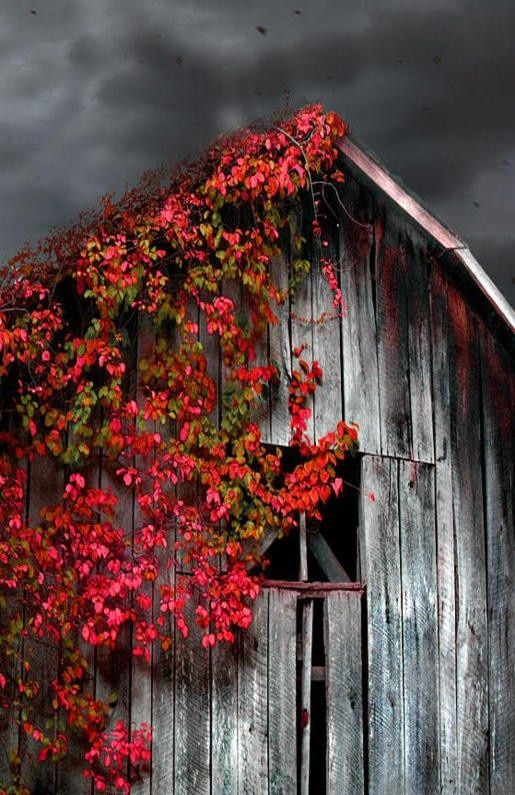 ♂ Aged with beauty Old barn. Love the contrast of old with live flowering vine.