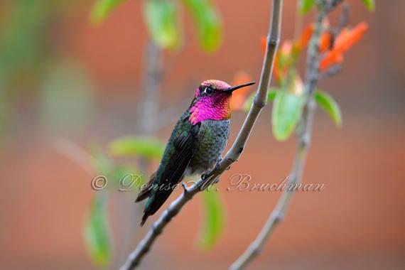 Hummingbird Photos  Anna's Hummingbird Photo  Photos of