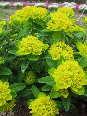 Euphorbia Polychroma 'Cushion Spurge' Related to the Poinsettia, it's outer bracts turn bright yellow in early summer, then red in the fall. Zones 3-9