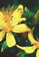 Bereits die Römer setzten Johanniskraut als Heilpflanze ein. Bis vor wenigen Jahren geriet es sowohl in der Medizin als auch in der Bevölkerung in Vergessenheit. Derzeit erlebt das anspruchslose Kraut eine erstaunliche Renaissance: Es ist zum Star unter den pflanzlichen Antidepressiva geworden.  Die heilende Wirkung des Johanniskrautes ist bereits seit mehr als 2000 Jahren bekannt. Die Römer nutzten es vor allem zur Wundheilung und bei Verbrennungen. Im Mittelalter kamen zahlreiche…