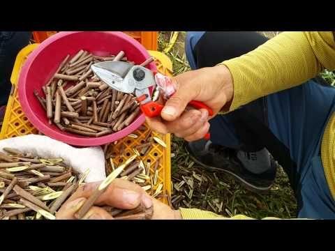 접목가위 접목도 접목칼 접목방법 과수접목방법 - YouTube