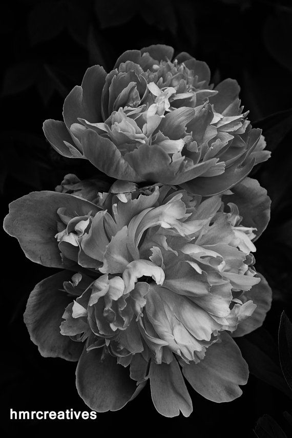 Black and White Peonies Nature Photography Fine by HMRCreatives,